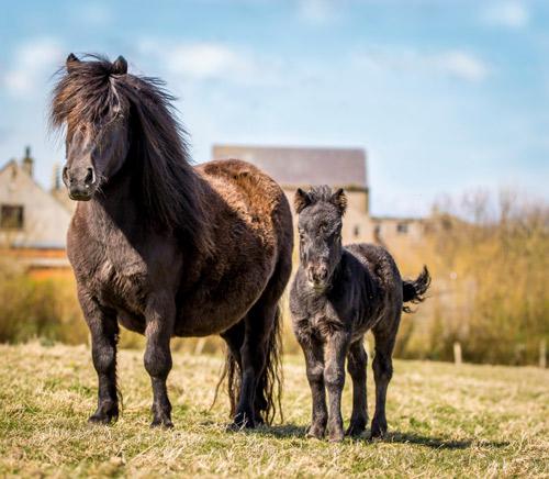 Shetland Pony Foal News
