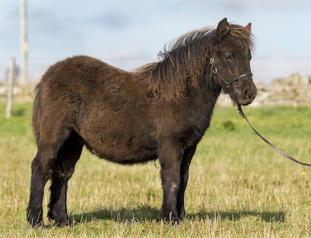 Shetland Pony Filly Foal
