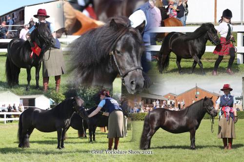 shetland pony Great Yorkshire Show